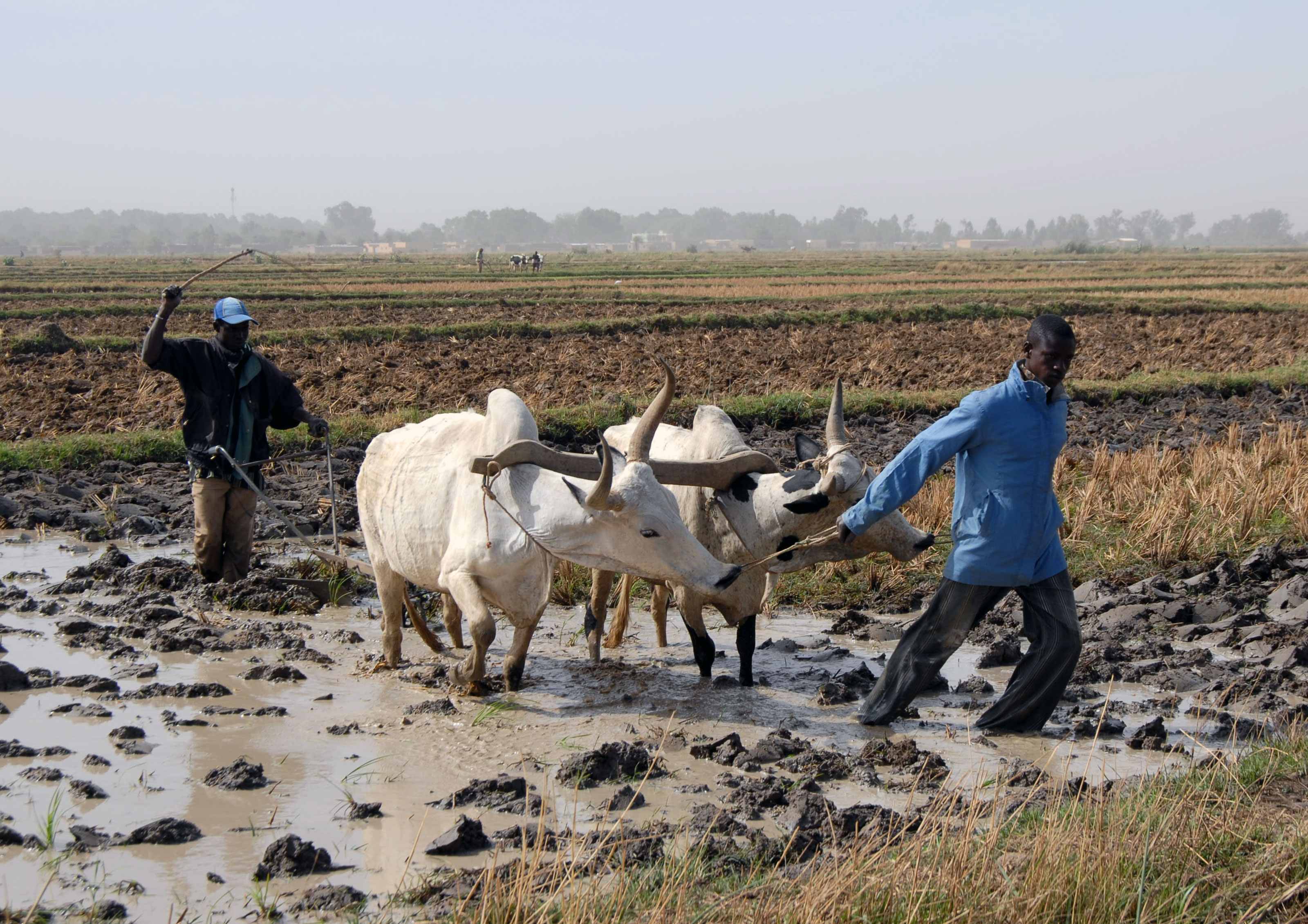 3 bœufs de labour, 200 kg de semences de qualité et 5 formations