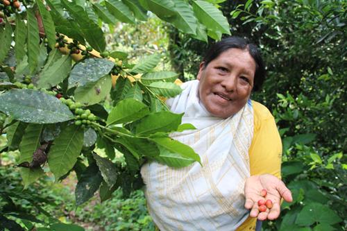 L'agroforesterie au service des producteurs de café